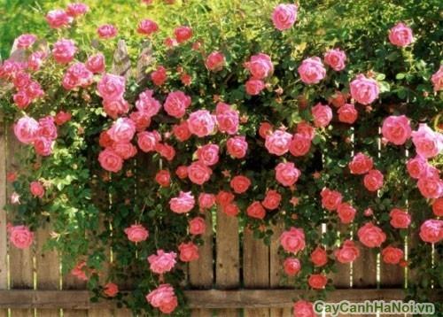 Cây hoa Hồng Leo ở cỏng nhà