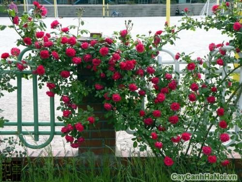Hoa Hồng Leo trang trí hàng rào biệt thự