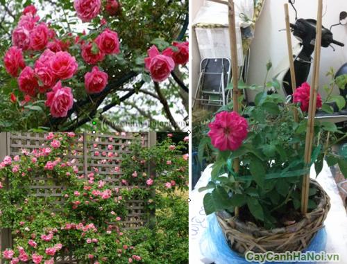Cây hoa Hồng Leo trang trí tiểu cảnh sân vườn