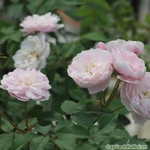 Hoa hồng leo phớt hồng trông dịu dàng như nàng thiếu nữ