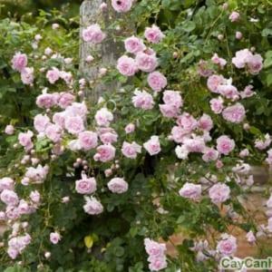 Hoa hồng phớt hồng không quá chói chang