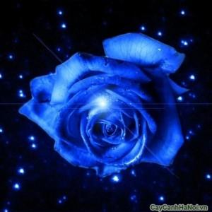 Hoa Hồng xanh huyền diệu