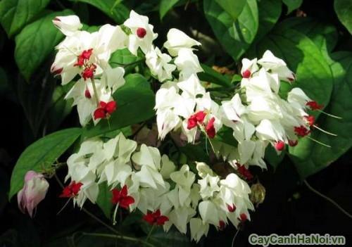 Hoa Ngọc Nữ trắng thích hợp trang trí ngoại thất