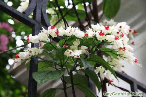 Hoa Ngọc Nữ trắng leo trên hàng rào