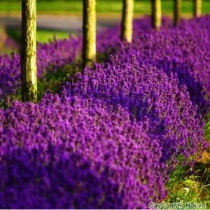Hoa Oải Hương có thể trồng làm cây dẫn lối đi