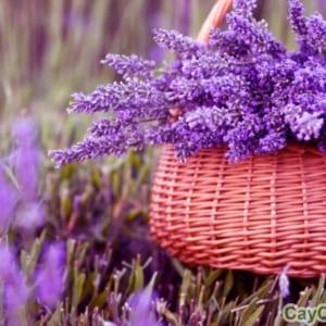 Hoa Oải Hương cũng được dùng làm quà tặng rất ý nghĩa
