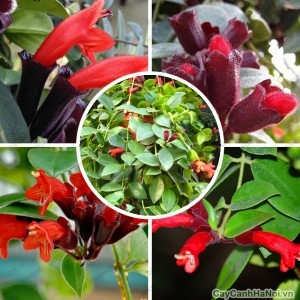 Hoa Son Môi đỏ