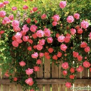 hoa tường vi2
