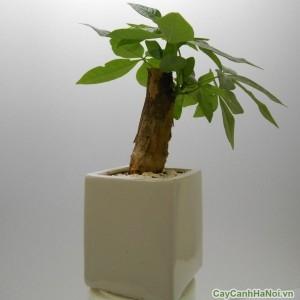 Kim Ngân là một trong những loài cây được giới văn phòng lựa chọn nhiều nhất