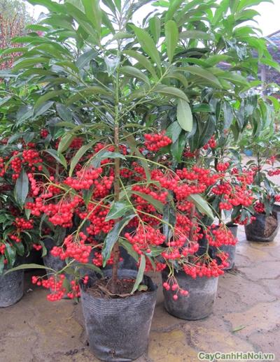 Cây kim ngân lượng thường được trồng trang trí sân vườn, công viên, nhà máy, xí nghiệp