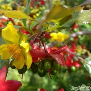 Cây mai tứ quý ( Ochna atropurpurea) là một loại hoa mai có hoa màu vàng