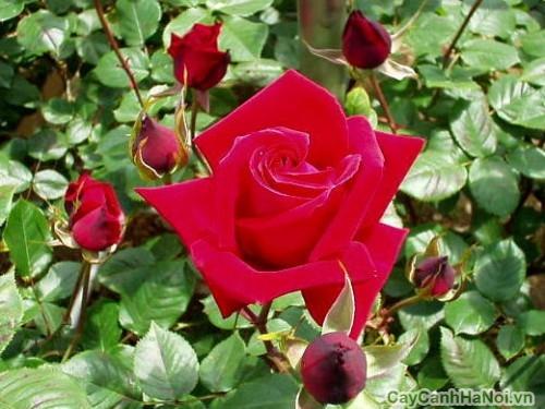 Phân vi lượng kích hoa hồng ra hoa