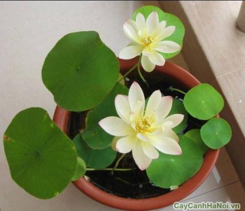 Phân vi lượng kích sen Nhật ra hoa