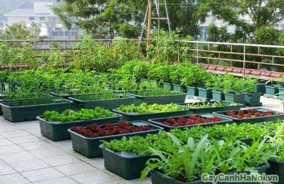 Những chậu rau xanh trên sân thượng