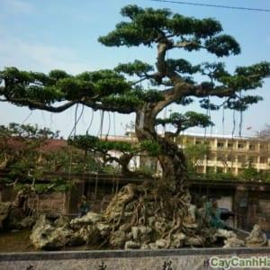 Cây tùng la hán  là cây thân mộc, có thể chịu hạn tốt, thích nhiệt độ nóng ẩm