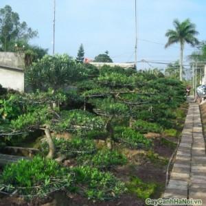 Tùng La Hán cũng sử dụng các chất trồng đơn giản như mùn dừa, tro trấu hoặc đất trồng giàu dinh dưỡng để ươm trồng cây