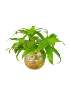cây lược vàng