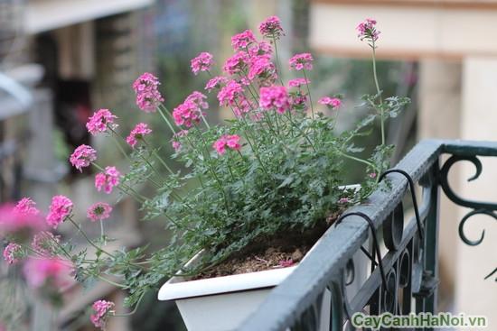 Chậu cây hoa đẹp