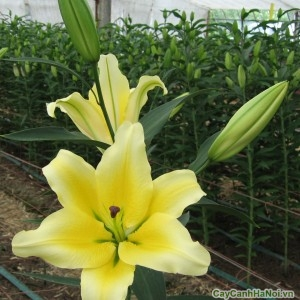 Hoa ly