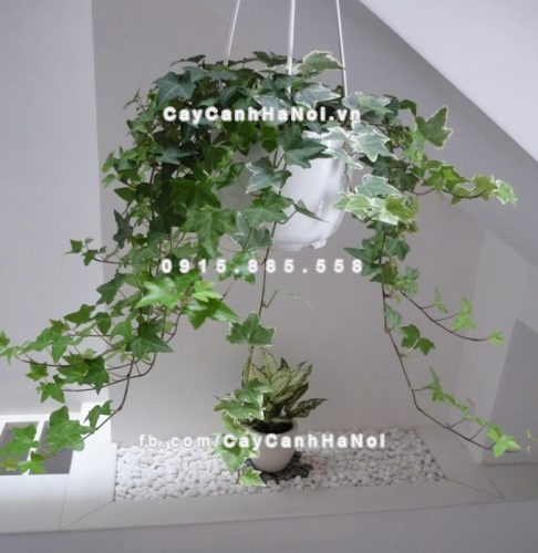 cây trồng hợp phong thủy giúp gia chủ khỏe mạnh