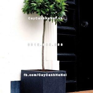 chautrong_cay_xi_mang_cao_cap-m101