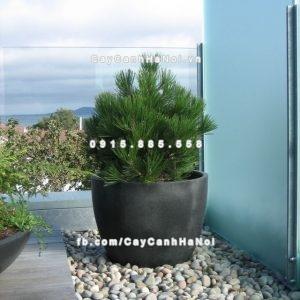 Black terrazzo pot with pine, Dalkey