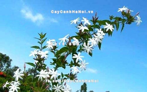 hoa nhài leo