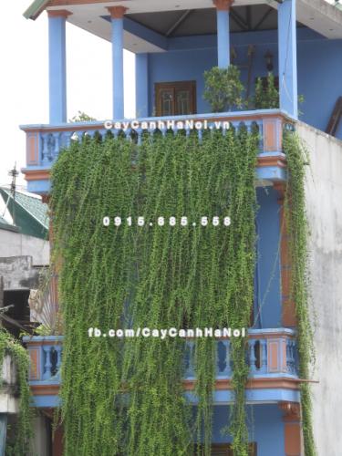 Cây dây leo - Cây Cúc tần Ấn Độ
