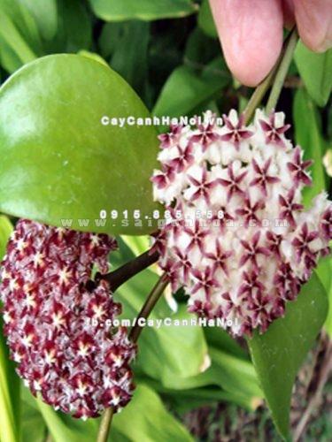hoa leo Cẩm cù