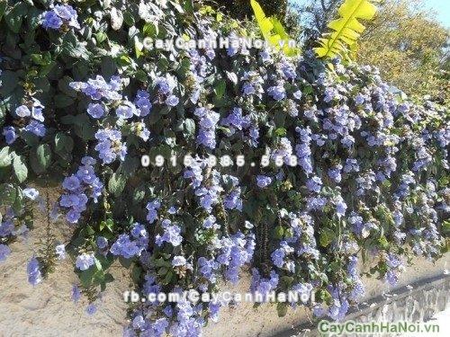 Cây dây leo - Hoa tử đằng với màu tím biếc và sức leo khỏe trải dài theo chiều cao của ngôi nhà, một điểm nhấn ấn tượng, mát mẻ cho mùa hè oi bức
