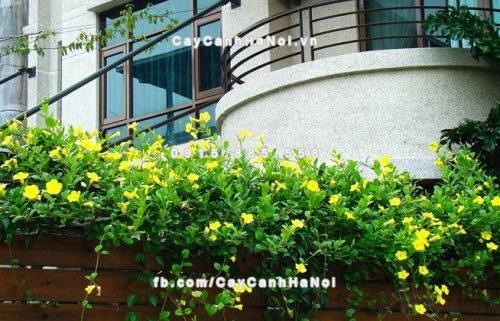 Cây dây leo - hoa leo Hoàng thảo