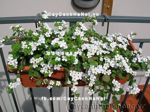 Hoa bông tuyết trắng