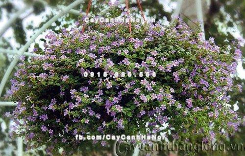 Hoa bông tuyết tím
