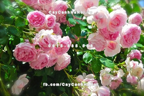 Hoa leo - Hoa hồng leo rực rỡ màu sắc