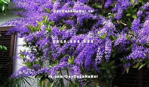 Giàn hoa leo , hoa mai xanh