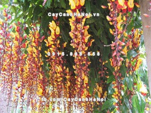 Hoa leo móng cọp - cây dây leo ấn tượng với những chuỗi dài, sai hoa và lạ mắt