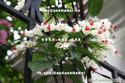 Chậu hoa ngọc nữ trắng