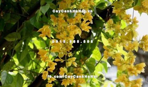 Hoa leo Hoàng Dương - cây dây leo với những chùm hoa to , dài màu vàng nổi bật