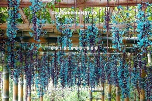 Giàn hoa leo móng xanh biếc với những chùm hoa dài độc đáo và đặc sắc