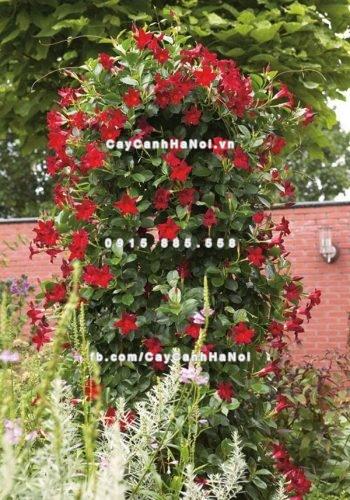 hoa leo Hoa Trang đài