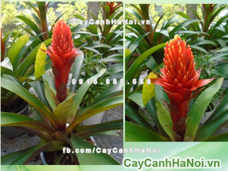 Hình ảnh cây phong lộc hoa