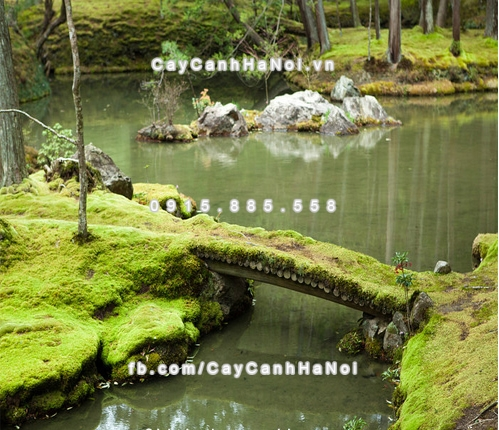 Rêu Sao trường sinh SUNA Nhật Bản trang trí tiểu cảnh