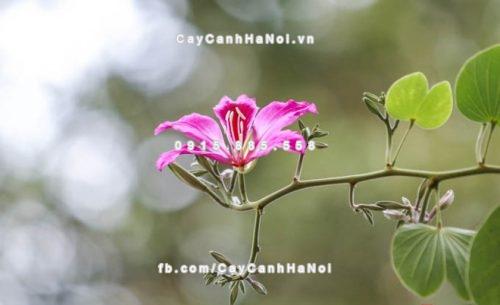 Cây hoa ban đỏ