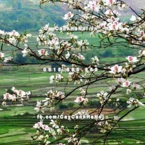 Cây hoa ban Tây Bắc