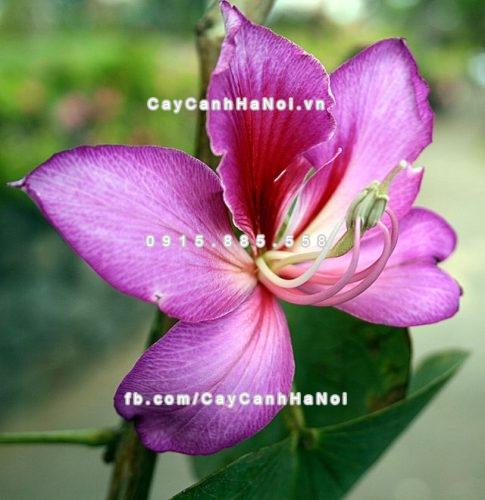 Cây hoa ban tím