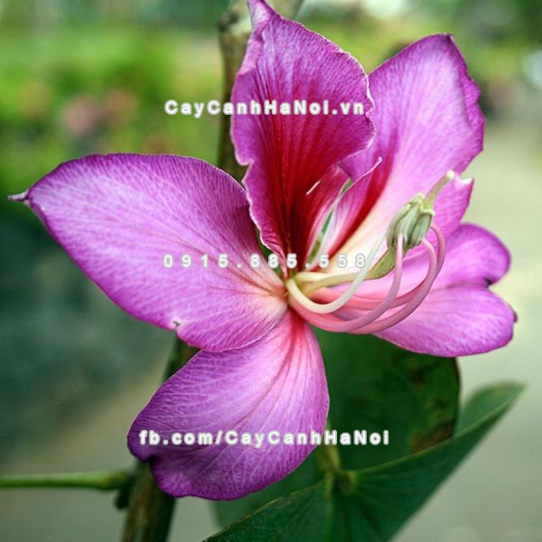 cay_hoa_ban_tim (1)