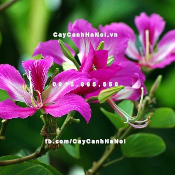 cay_hoa_ban_tim (3)