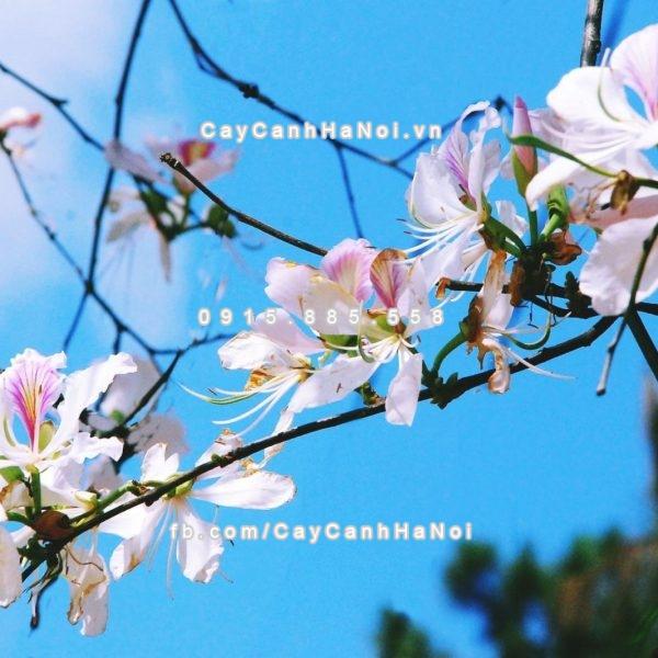 cay_hoa_ban_trang (3)