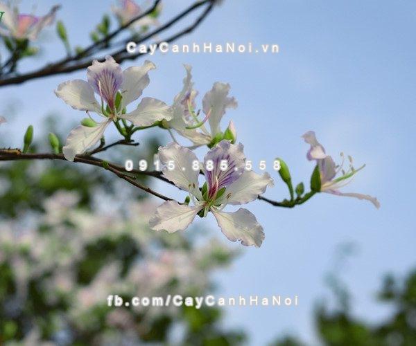 cay_hoa_ban_trang(8)