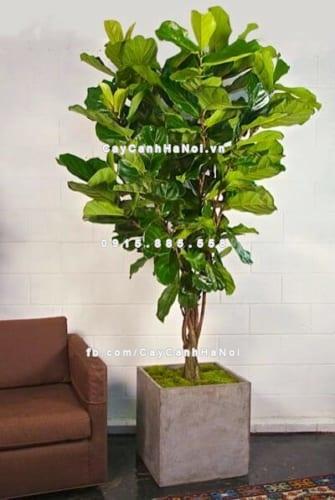 Cây Fiddle Leaf Fig